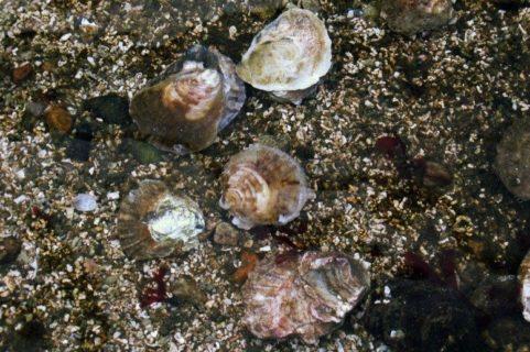 Huîtres plates1