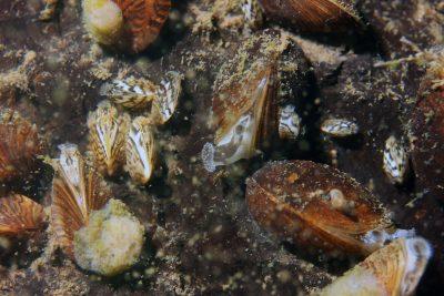 Dreissena polymorpha e, Tournai Barges, 170528