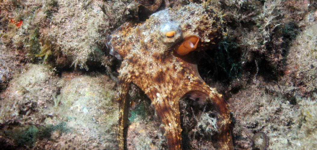 Octopus vulgaris b, Playa Paraiso Punta negra, 180911